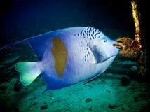 神仙鱼yellowbar maculosus的pomacanthus 库存图片