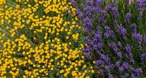 神圣亚麻chamaecyparissus和紫色淡紫色花,传统野生药用植物 库存图片