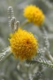 神圣亚麻chamaecyparissus 免版税图库摄影