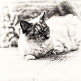神圣在沙发惊奇和加长的缅甸猫 免版税库存照片