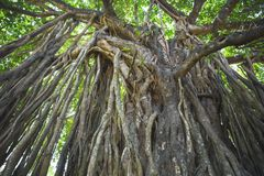 神圣的树在密林 印度 goa 免版税库存照片