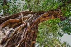 神圣的树在密林 印度 goa 免版税库存图片