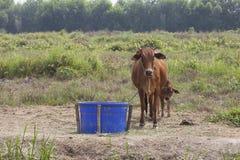 神圣的牛 免版税库存图片