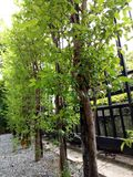 神圣的结构树 库存照片