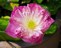 神圣的莲花 免版税库存图片