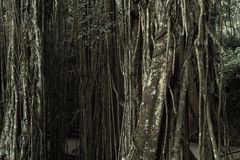 神圣的猴子森林圣所的热带密林, Ubud,巴厘岛,印度尼西亚 免版税库存图片