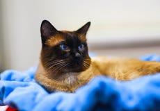 神圣的Birman猫,在被弄脏的背景的birma defocused 免版税库存照片