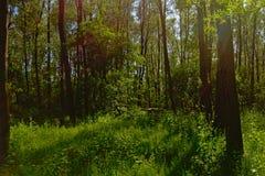 神奇光在一个森林里在Vinderhoute,富兰德 库存图片