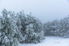 神奇多雪的杉木有雾的森林俄罗斯,旧克里木 库存照片