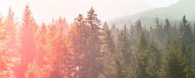 神奇有薄雾的杉树红色绿色日落森林 库存照片