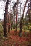 神奇林木由藤本植物扭转 库存照片