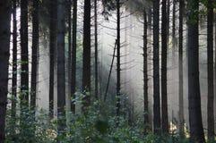 神秘有雾forrest在清早 图库摄影