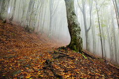 神秘的早晨有雾的森林风景 免版税库存图片