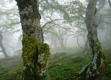 神秘的早晨雾在桦树森林,绿色叶子,跳舞的桦树特写镜头,奥雷亚加通行证,比利牛斯里 免版税库存照片