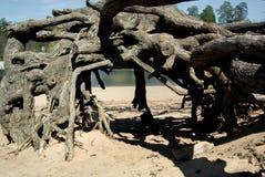 神秘的根在森林里 库存照片