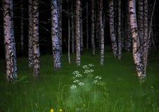 神秘的桦树 图库摄影
