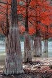 神秘的沼泽红色柏树木秋天美好的风景 Sukko湖dy阿纳帕,俄罗斯,高加索 库存照片