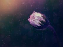 神秘的雏菊芽 库存图片