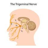 神经三叉神经 库存图片