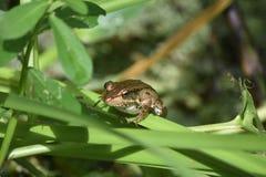 神色到一只青蛙里的面孔在路易斯安那 免版税库存照片