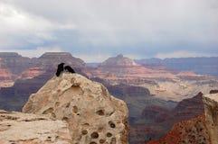 神鹰夫妇在大峡谷的 免版税库存照片