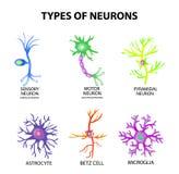 神经元的类型 构造知觉,运动神经元,星形细胞, pyromidal, Betz细胞,小神经胶质 集合 Infographics 向量 免版税库存图片