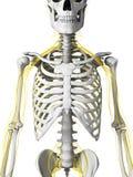 神经和骨骼 库存照片
