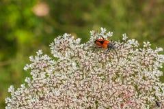 神仙圆环在野胡萝卜花的长角牛甲虫 免版税库存图片