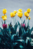 神仙的梦想的不可思议的黄色紫色郁金香开花与深绿叶子,定调子与在减速火箭的葡萄酒样式的instagram过滤器 库存图片