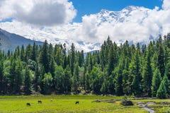 神仙的草甸有南迦帕尔巴特峰背景,基尔吉特,巴基斯坦 免版税库存图片