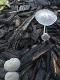 神仙的蘑菇 免版税库存图片