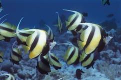 神仙鱼学校在礁石的 免版税库存图片