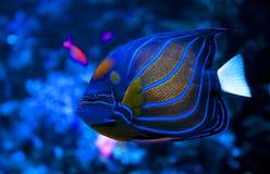 神仙鱼蓝色鱼环形海运 图库摄影