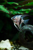 神仙鱼 免版税图库摄影
