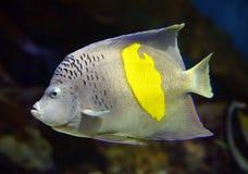 神仙鱼- Pomacanthus, maculosus 库存图片