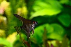 神仙鱼pterophyllum scalare水族馆鱼 库存照片