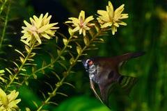 神仙鱼pterophyllum scalare水族馆鱼 图库摄影