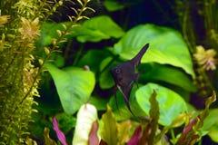 神仙鱼pterophyllum scalare水族馆鱼 免版税库存照片