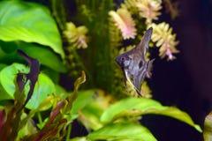 神仙鱼pterophyllum scalare水族馆鱼 免版税库存图片