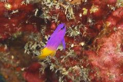 神仙Basslet -博内尔岛 免版税库存照片