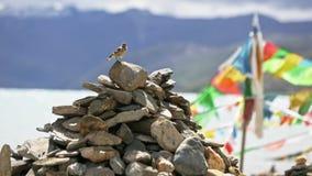 祷告旗子 鸟从堆石头离开 西藏 股票视频