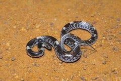 禁止的狼蛇, Lycodon striatus,非有毒 Colubridae 本地治里市,泰米尔纳德邦 库存照片