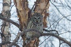 禁止的科罗拉多猫头鹰拍摄了结构树 库存图片