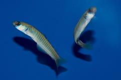 禁止的虾虎鱼对 库存照片