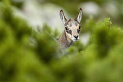禁止carpatica查找rupicapra年轻人动物园的羚羊拉特银币 rupicapra rupicapra)在膝盖木材后 免版税库存照片