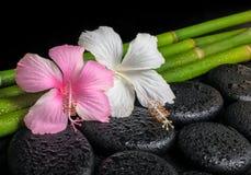 禅宗玄武岩石头,白色和桃红色木槿的温泉概念开花 库存照片