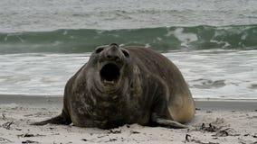 福克兰群岛,南部的海象 影视素材