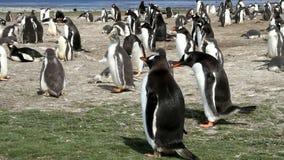 福克兰群岛, Gentoo企鹅殖民地 影视素材