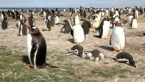 福克兰群岛, Gentoo企鹅殖民地 股票录像