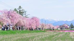 福岛,日本- 4月16,2016 :在Nicchu林的啜泣的樱桃 免版税图库摄影